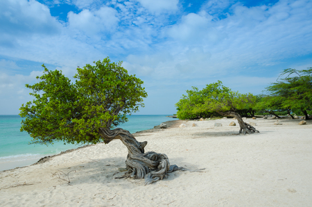 The famous Divi Divi tree which is Arubas natural compass, always pointing in a southwesterly direction due to the trade winds that blow across the island