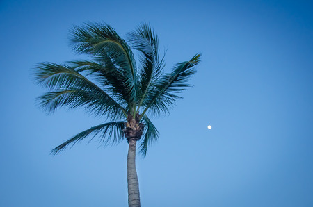 aruba: Twilight with the full moon and palm tree silhouette in Aruba, Caribbean
