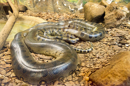 Jiboia (Epicrates cenchria) is a boa species endemic to Central and South America. Stock Photo