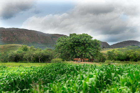 Horses eating food and resting under the tree in Minas Gerais, Brazil