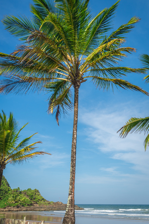 Spectacular and impressive coconut palm tree by the Itacare Bahia state Brazil Northeast