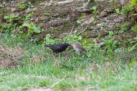 The rufous collared sparrow feeding the shiny cowbird on the ground