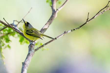 Close up of yellow-lored tody-flycatcher passerine bird perched in nature