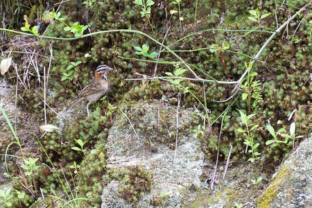rufous collared sparrow posing on a top tree branch Banco de Imagens