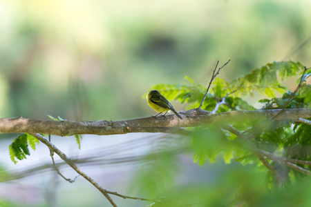 Back side of grey-headed tody-flycatcher posing on a tree branch Stock Photo