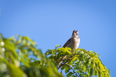 rufous collared sparrow posing on a top tree branch Stock Photo