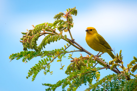 Close up of wild canary passerine bird perched on tree in nature