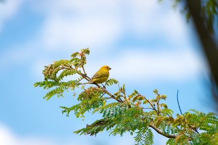 Male island canary posing on a tree branch in nature