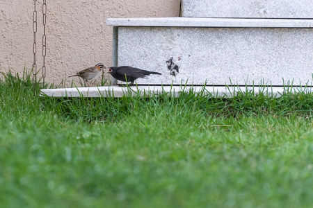 Little rufous collared sparrow feeding a shiny cowbird by the house Banco de Imagens