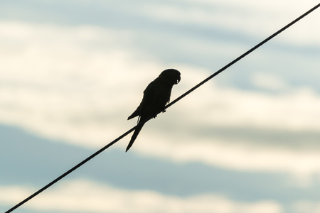 Silhouette of a Parrot perched on a electric power line Stock Photo
