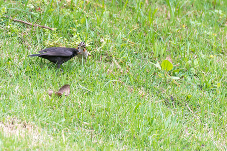 The shiny cowbird parasitizing the rufous collared sparrow on the ground