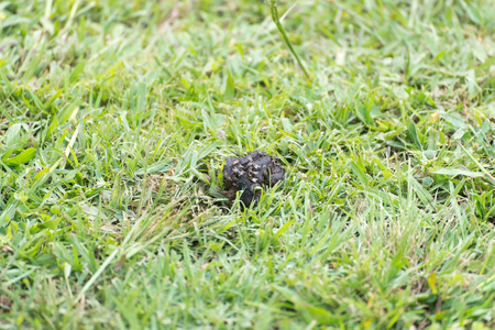 dog poop with a lot of flys on the grass Stock Photo