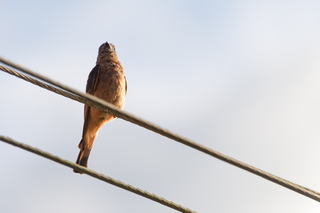the rufous hornero brown bird perched on electric wire
