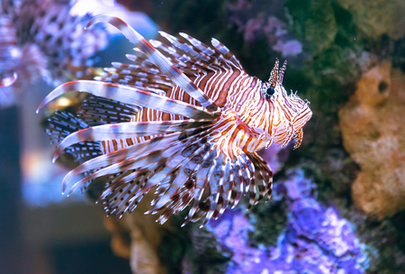 Poison lion fish by the corals on salt water