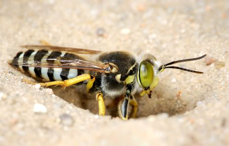 rostratus: The wasp Bembex rostratus burrow in the sand. Stock Photo