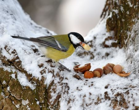 Nutlet for a titmouse in a cold winter. Stock Photo - 5637043