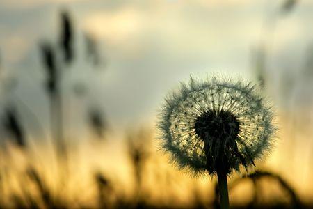 Dandelion Taraxacum officinale on a meadow, on a sunset.
