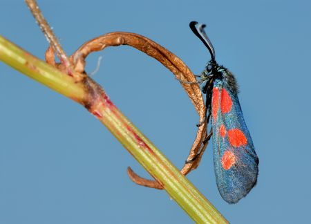 zygaena: The bright, spotted butterfly Zygaena filipendulae on a lief Stock Photo