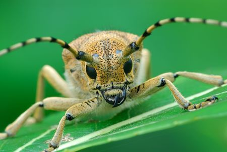 Bug Saperda carcharias, sleeps early in the morning. Stock Photo