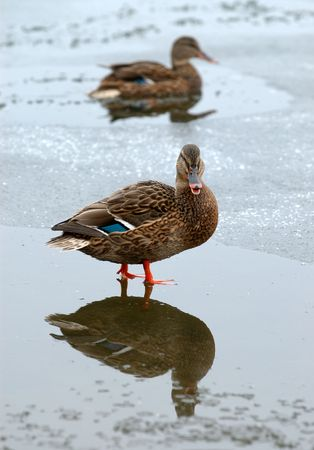Two ducks on the ice partially frozen lake. photo