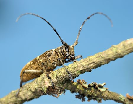 cerambycidae: Beetle Cerambycidae on a dry branch, a photo from the bottom point against the   sky.