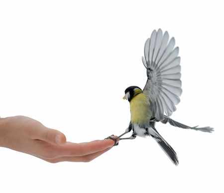 The titmouse takes sunflower seeds from a hand of the boy. photo