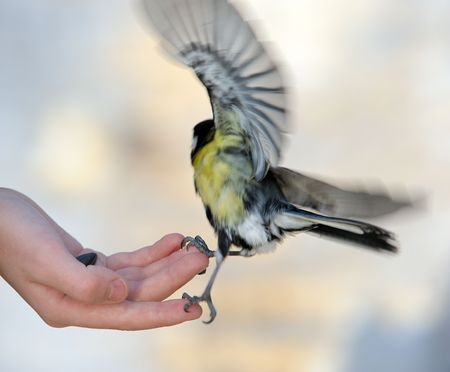 The titmouse takes sunflower seeds from a hand of the boy. Stock Photo - 5724291