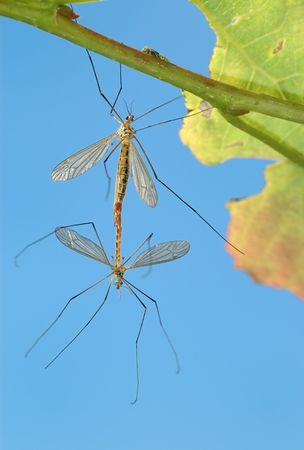 Pairing of mosquitoes (Tipulidae) on a tree branch, a kind against the sky. photo