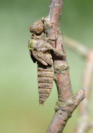 sapless: Una serie di 5 foto fuori della pelle larva di libellula.