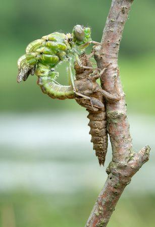 sapless: Una serie di 5 foto fuori della libellula larva di pelle. Archivio Fotografico