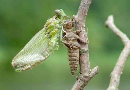A series of 5 pictures out of the dragonfly larva skin. Stock Photo