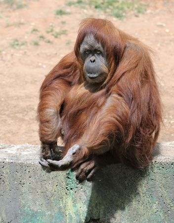Orangutan begging for a treat at the zoo.