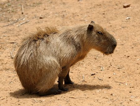 agouti: Agouti, a large rodent from South America. Stock Photo