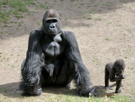 Gorillas in the zoo, big and important.  Stock Photo