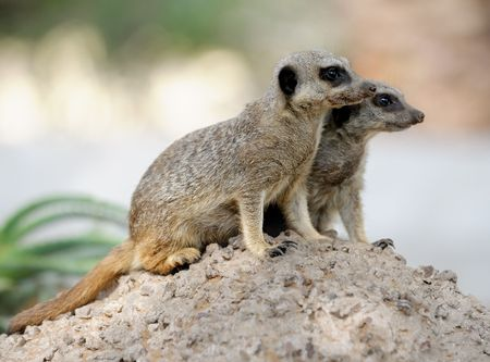 to observer: Suriñatà, small carnivorous mammals, a pair of observers around the hole in the zoo.