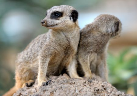 observers: Suri�at�, small carnivorous mammals, a pair of observers around the hole in the zoo. Stock Photo