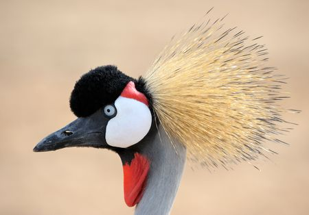 The head is crowned crane, close-up  photo