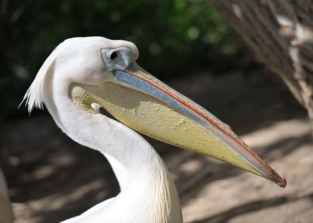 membranes: Pelicans on the lake in the zoo.