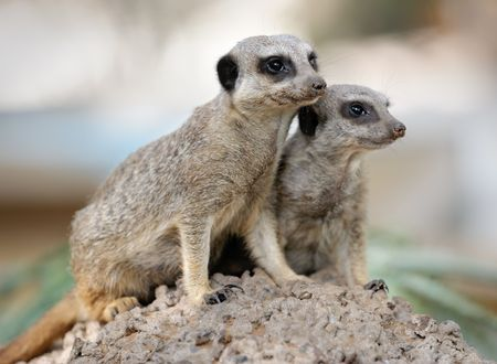 Suricata, small carnivorous mammals, a pair of observers around the hole in the zoo. Stock Photo