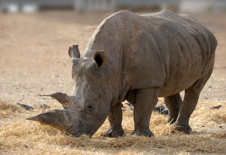 Thick-skinned and big, white rhinoceros in a zoo.