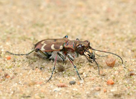 Small predatory beetle, tigerbeetle (Cicindela hybrida). photo