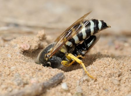 burrow: The wasp Bembex rostratus brought prey into its burrow.