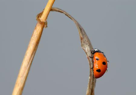 septempunctata: Ladybird (Coccinella septempunctata) on a blade of grass against cloudy sky.