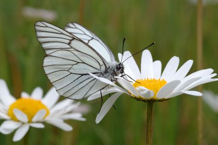 Butterfly on a flower ñhamomile in a meadow.