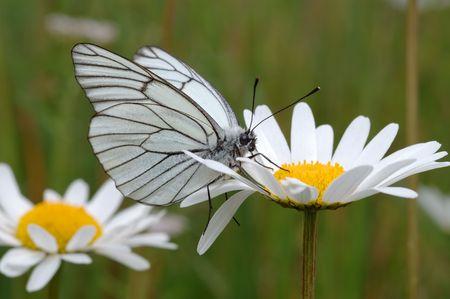 Butterfly on a flower �hamomile in a meadow.