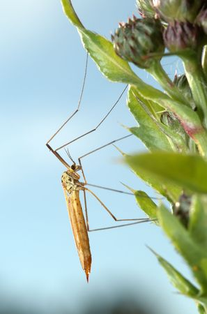 Mosquito crane-fly on a plant, a kind against the sky. photo