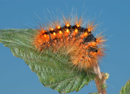 Black caterpillar with bright hairs on the leaf. Stock Photo - 5970170