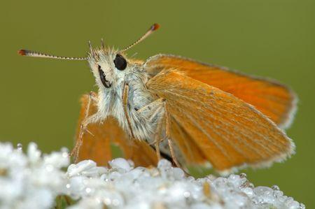 Small bright orange butterfly Large Skipper (Ochlodes sylvanus).