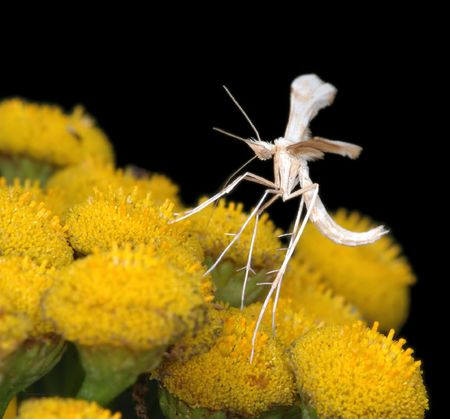 Tiny White Plume Moth Pterophorus pentadactyla on flowers of tansy. photo