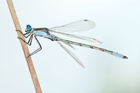 cling: Close-up of a dragonfly Lestes, cling to a straw.